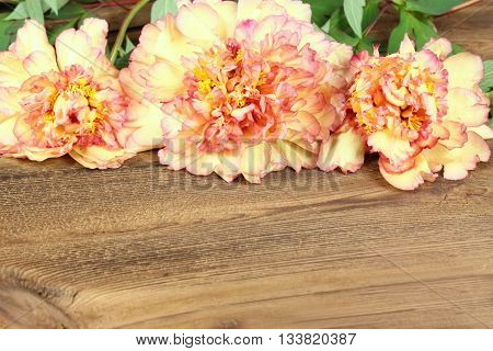 Peony background. Chinese tree peony. Floral background from peonies. Paeonia suffruticosa. Mountain tree peony background. Yellow and orange tree peony also called Chinese