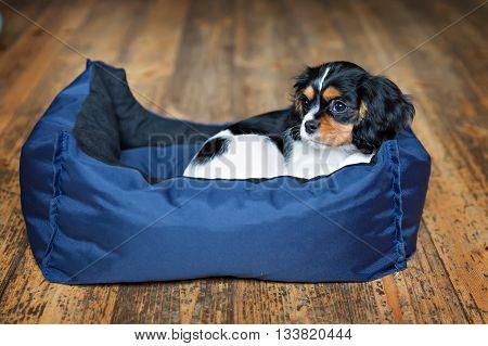 cute dog - cavalier spaniel puppy sleeping