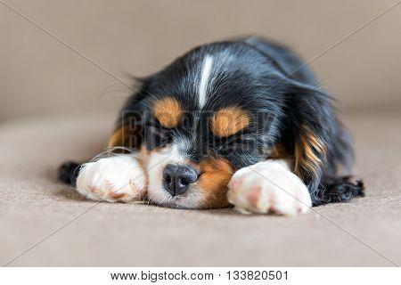 cute puppy of cavalier spaniel sleeping on a sofa