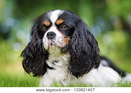 cute dog cavalier spaniel on the grass
