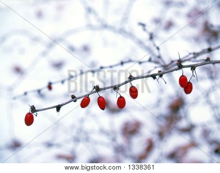 American Barberry Bush In Snow