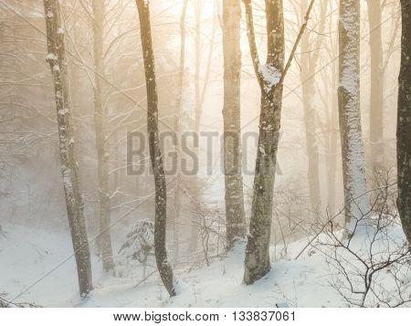 Winter foggy beech on a forest great cene