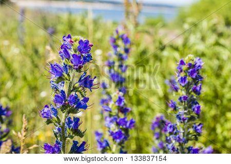Flowering Plant - Echium Vulgare L..