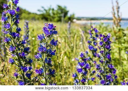 Purple Flowers - Echium Vulgare L..