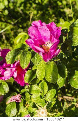 Rosa Rugosa Thunb. - Flowering Plant.