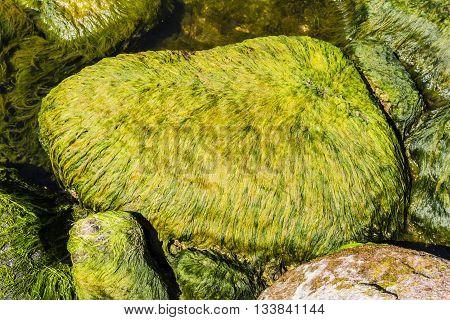 Algae On A Boulder.