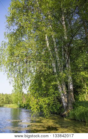 Birch tree overgrown with slime on a pond. A beautiful peaceful rural landscape. Big tree by the lake.