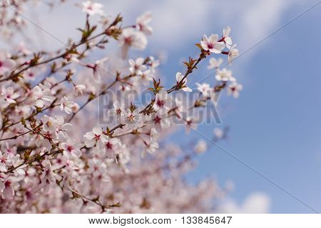 A cherry blossom is the flower of any of several trees of genus Prunus particularly the Japanese cherry Prunus serrulata which is called sakura