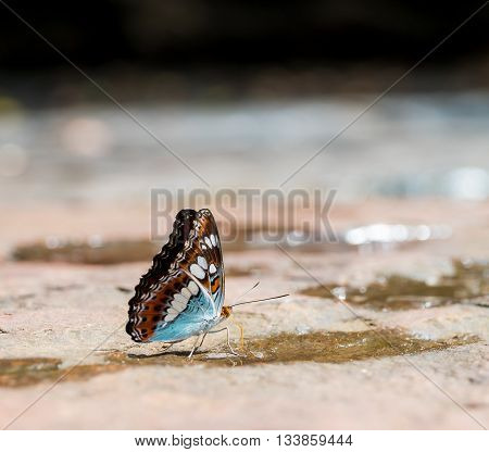 Close up of Commander (Moduza procris milonia) butterfly puddling on the Bedrock