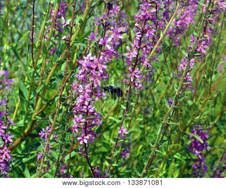 A bee flies among purple loosestrife flowers (Lythrum salicaria), also called  spiked loosestrife and purple lythrum, in Shorewood, Illinois during August.