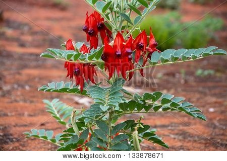 Closeup of a very rare Sturts Desert Pea flower in the Australian Outback