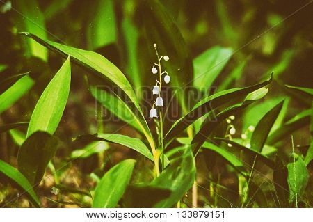 Blooming Lily Of The Valley
