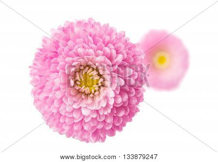pink marguerite isolated on a white background