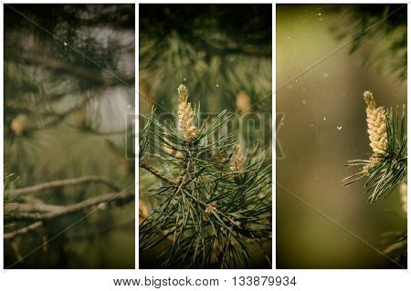 Spruce Cones On The Tree