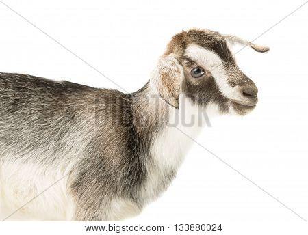 farm Little goat isolated on white background
