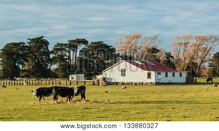 Big white shearing shed with a few New Zealand sheep and Cattle around it.