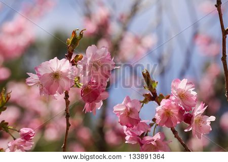 A cherry blossom is the flower of any of several trees of genus Prunus, particularly the Japanese cherry, Prunus serrulata, which is called sakura