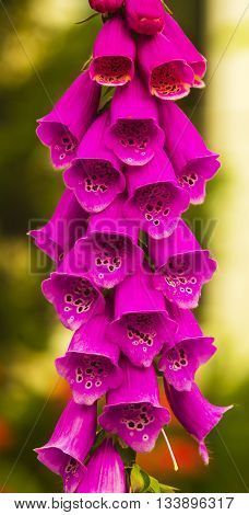 foxglove. Close-up of a stem full of Foxglove flowers on full bloom. The plants are well known as the original source of the heart medicine digoxin.