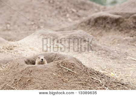 Prairie Dogs (cynomys) Are Burrowing Rodents Native To The Grasslands Of North America.