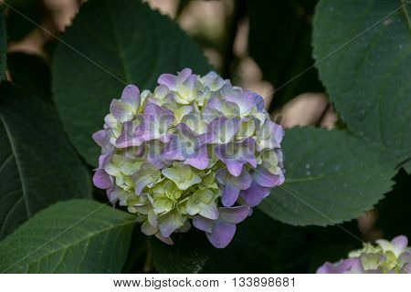 Blue And Green Hydrangea Flowers