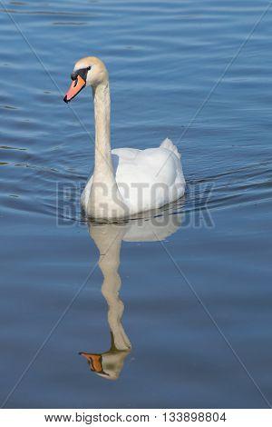 White mute Swan on lake, sunny spring morning
