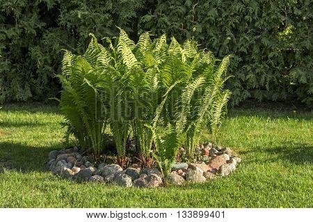 Ferns In Garden