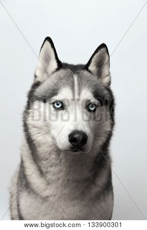 Adorable black and white with blue eyes Husky. Studio shot. on grey background. Focused on eyes.