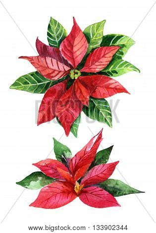 Christmas poinsettia isolated on white background watercolor flower