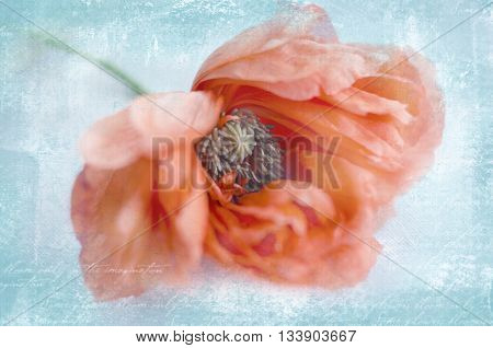 Beautiful single coral poppy flower head. Bright poppy flower. Close up of delicate flower for your design. Grunge background.