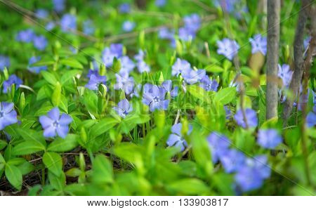 periwinkle delicate blue flowers growing on meadow