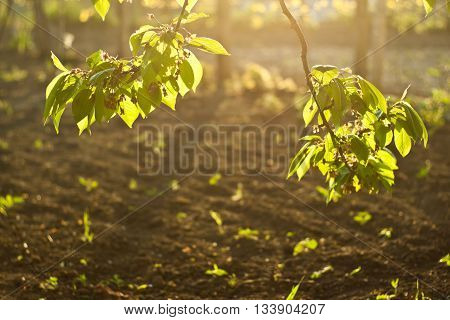 Sunlit branches - leaves on sunshine in front of soil