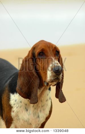 Basset Hound Dog Head Portrait