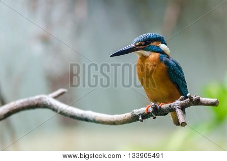 A beautiful kingfisher on a branch tree
