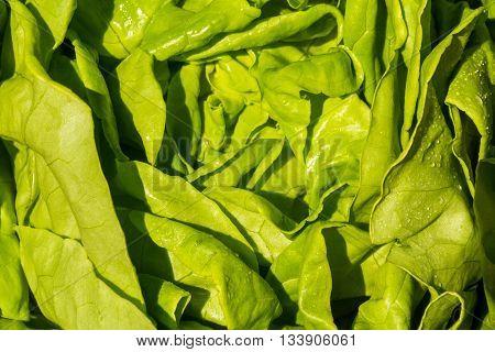 Green Round Lettuce, Lactuca Sativa. Close Up.