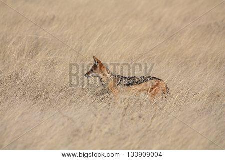 A single Black-backed jackal in the grasslands