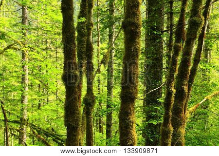 a picture of an exterior Pacific Northwest grove of mossy maple trees in summer