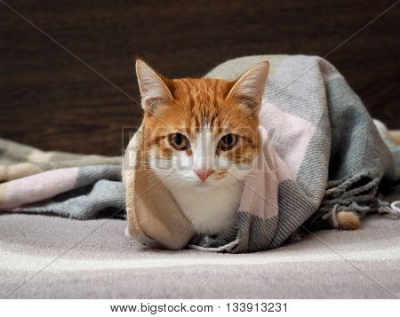 Portrait of a cat. The cat hid under the blanket and looks. The cat is white with red. Funny