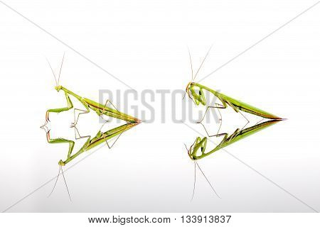 two green mantis crawling over a reflection title