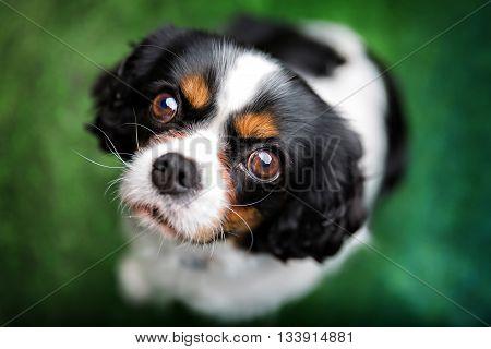 lovely cavalier spaniel, the look of love