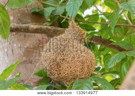 Skylark Nests, weaverbird Nest made of hay