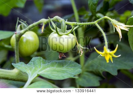 Green tomatoes and small flower growing on the branch