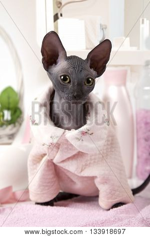 Portrait of two months old purebred Don Sphinx kitty cat dressed in pajamas
