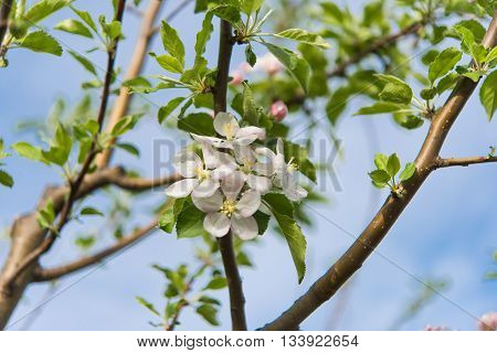 white Flowers of apple tree in spring