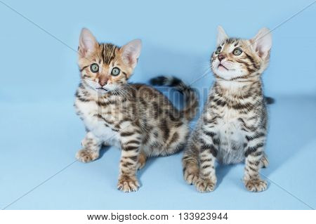 Two adorable brown spotted bengal kittens on neutral blue background