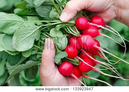 Farmers hands with freshly harvested radish on a background of planted radish.