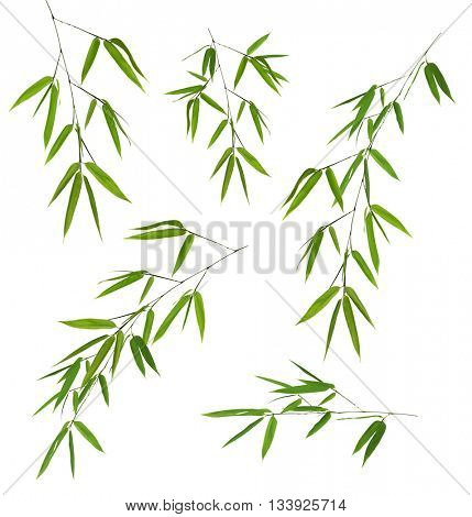 green bamboo branches isolated on white bacground