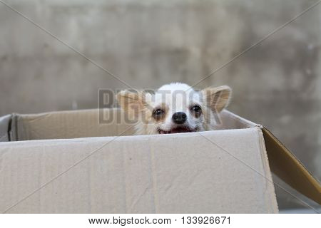 white chihuahua siting in box whit concrete wall backgeound