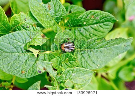 Striped colorado beetle on green potato leaves