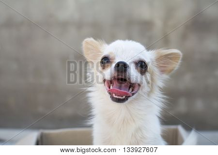 White Chihuahua Siting In Box