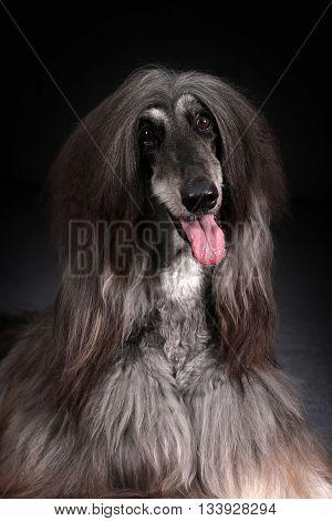 Beautiful Afghan dog on dark background closeup portrait